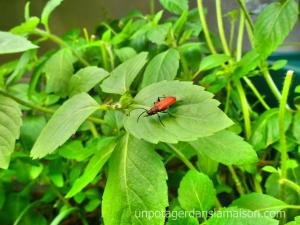 Un visiteur jardin potager indoor insecte visitor indoor garden tulsi basilic sacré sacred basil